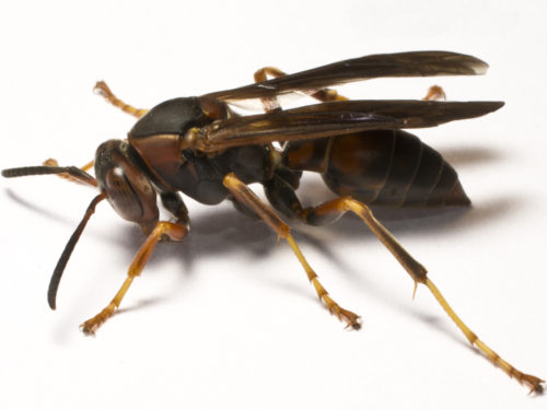 paper-wasp-no-text