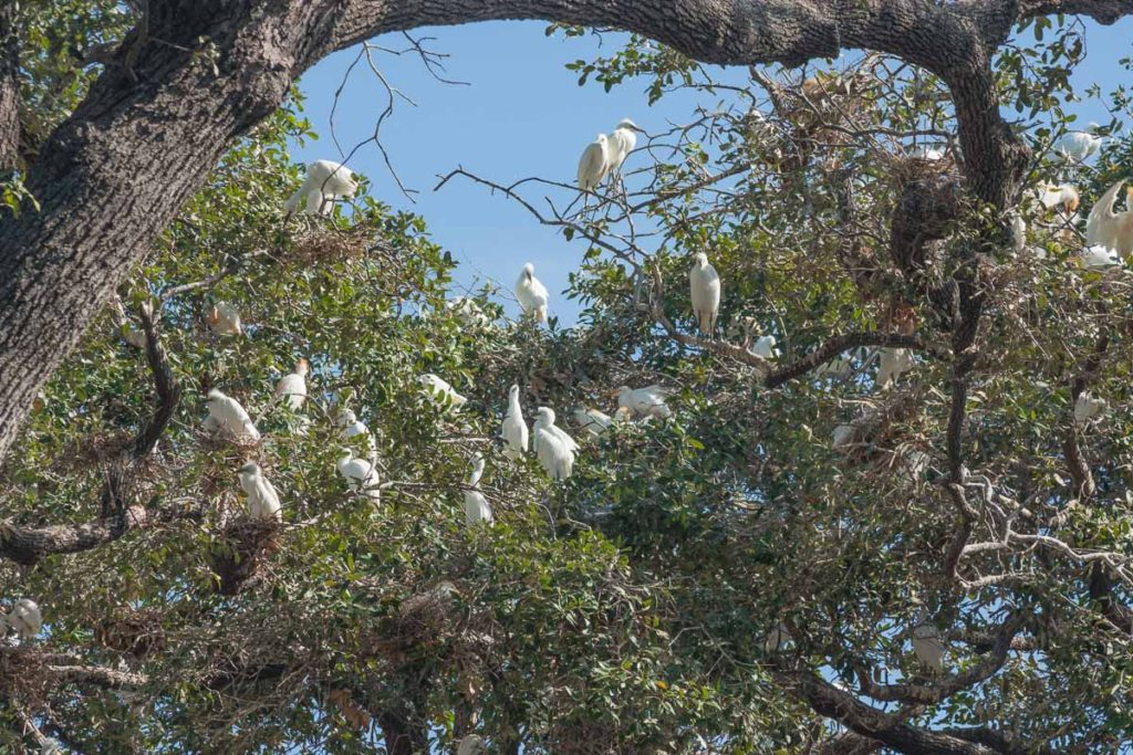 Cattle Egret Rookery near Joske Pavilion