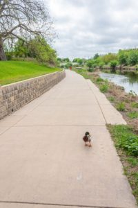Even ducks enjoy the paved path along the Mission Reach.