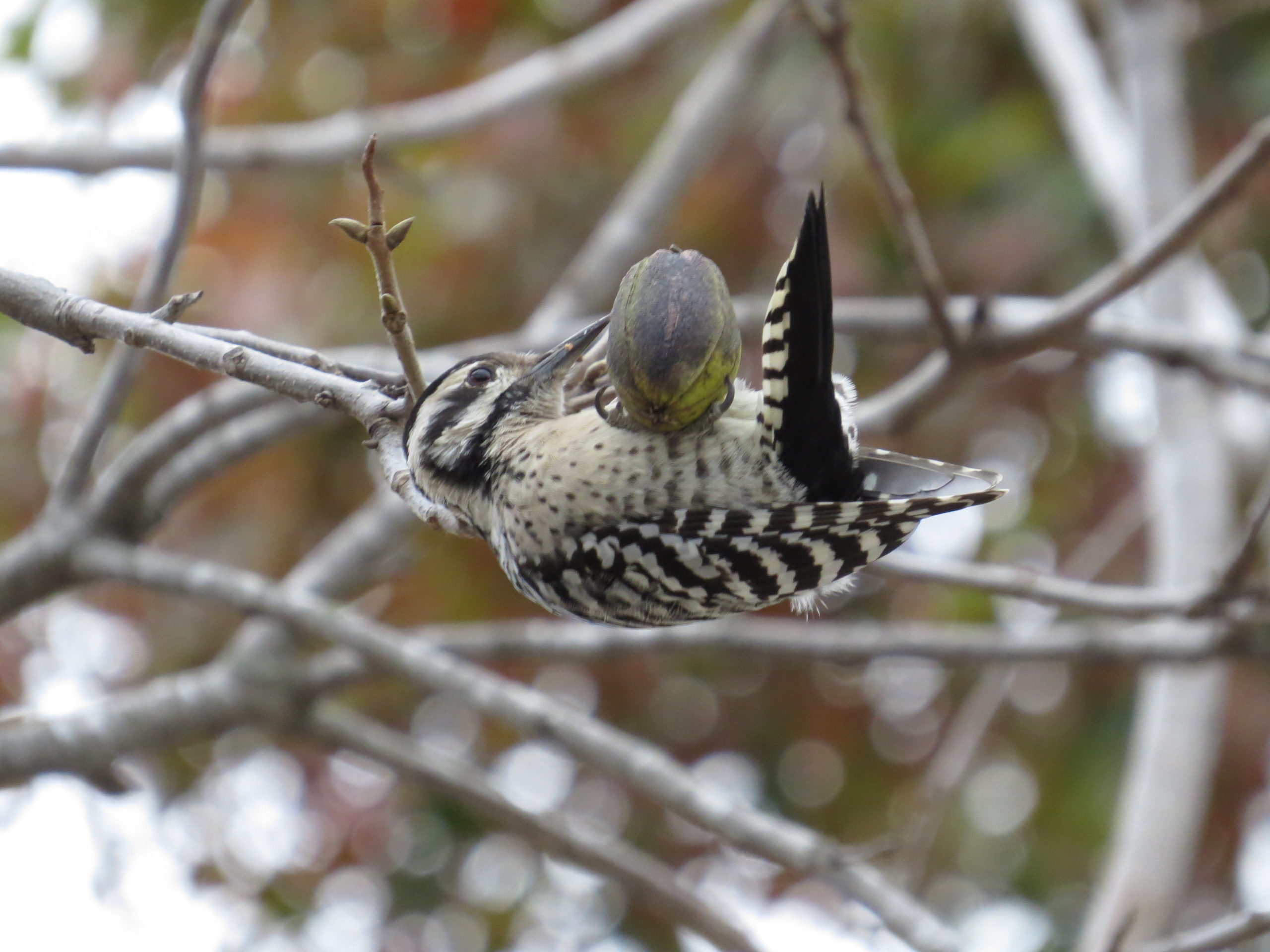 Ladder-backed Woodpecker with a pecan.