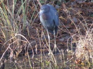 Lilttle Blue Heron