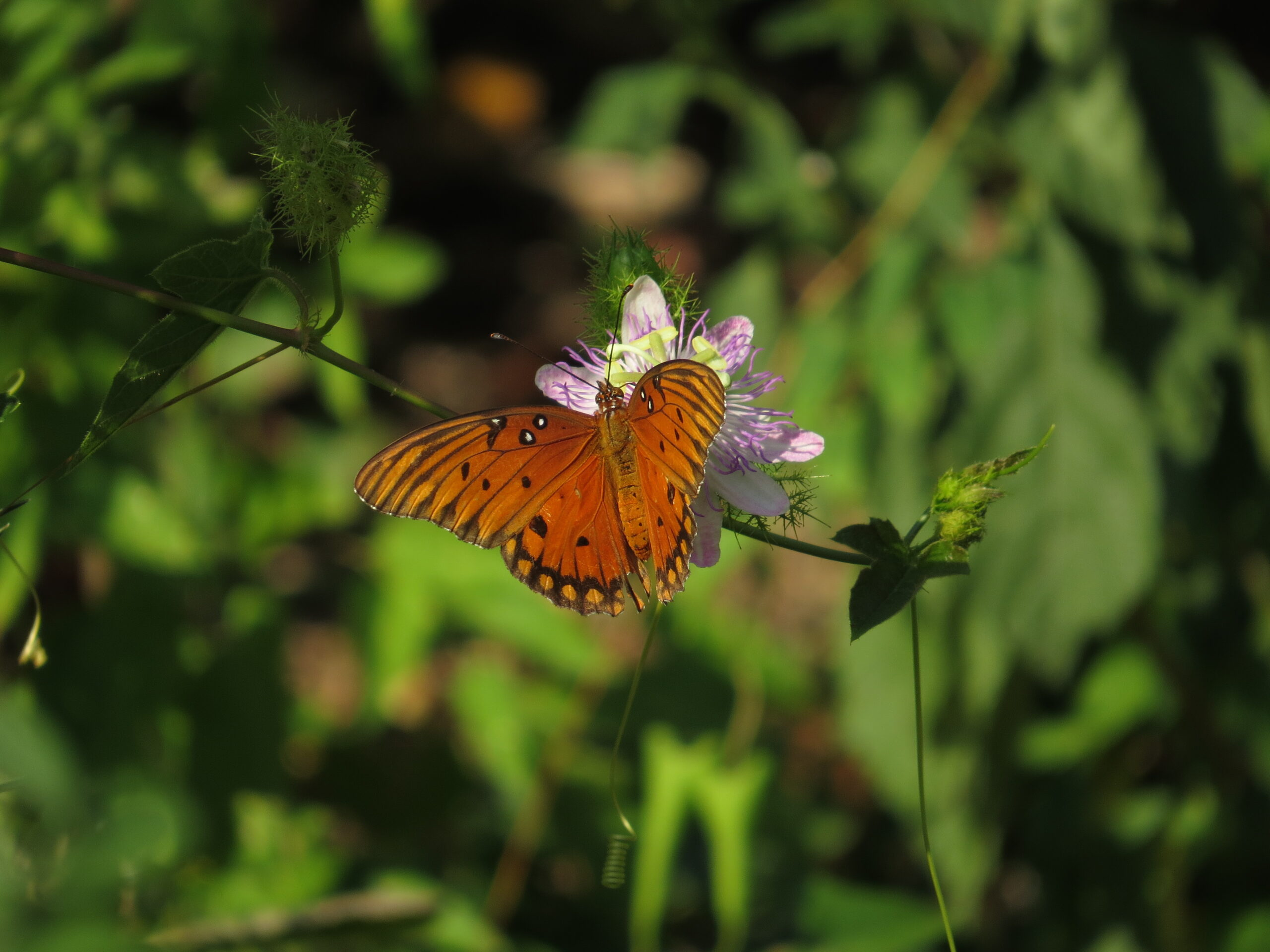 Gulf Fritillary on Passiflora Incarnata