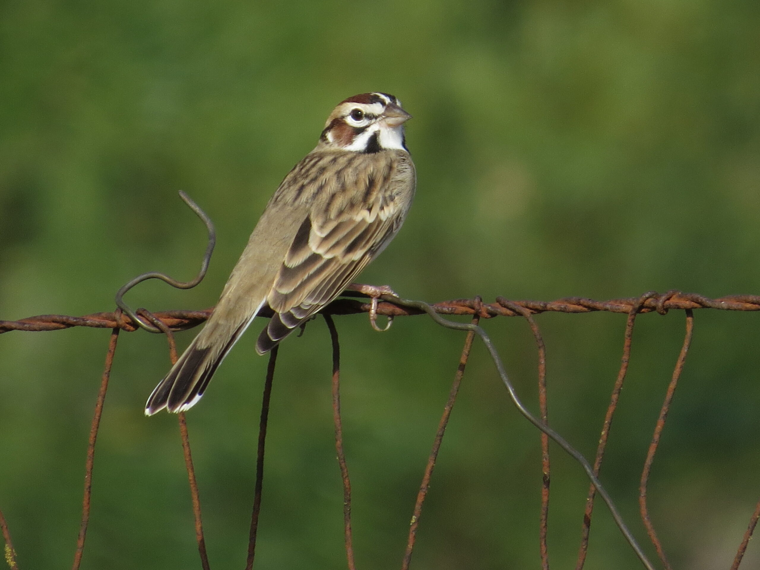 Lark Sparrow, Hardberger Park