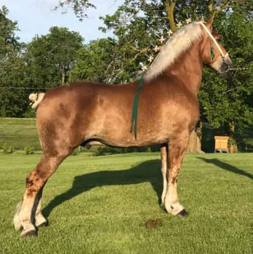 Oak Haven's Rodney_Stallion