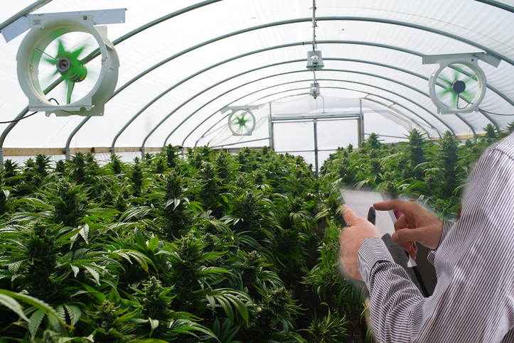 Inspector looking at Oklahoma medical marijuana grow