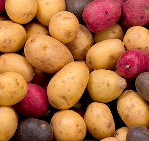 CSU Potato Breeding Program