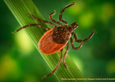 Differentiation of Early Lyme Disease from Southern Tick-Associated Rash Illness (STARI)