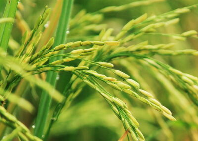 Overexpression of Transcription Factor Increases Yield in Rice
