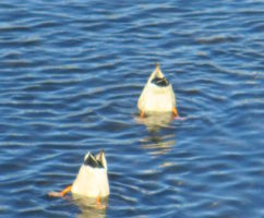 American River, ducks, diving ducks