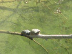 turtles, American River, water, turtles,