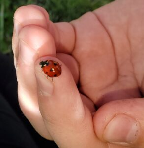 ladybugs, lost ladybug project, garden, search, Nature Detective