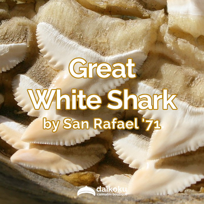 03/04/20: Great White Shark by San Rafael '71 | Balanced THC/CBD Ratio.