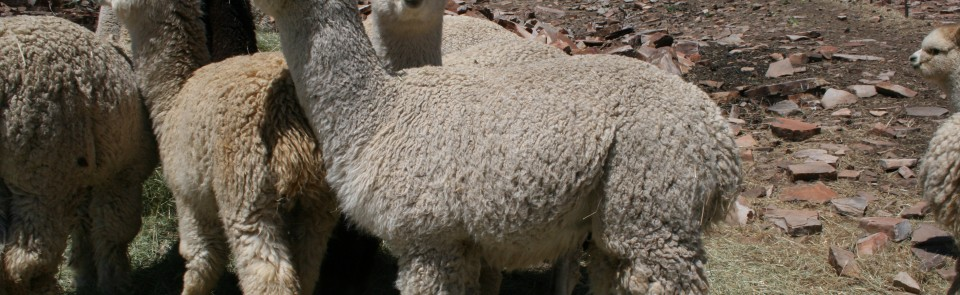 Can Raising Alpacas Be Sustainable?