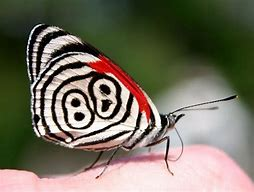 Eighty Eight Butterfly White Black