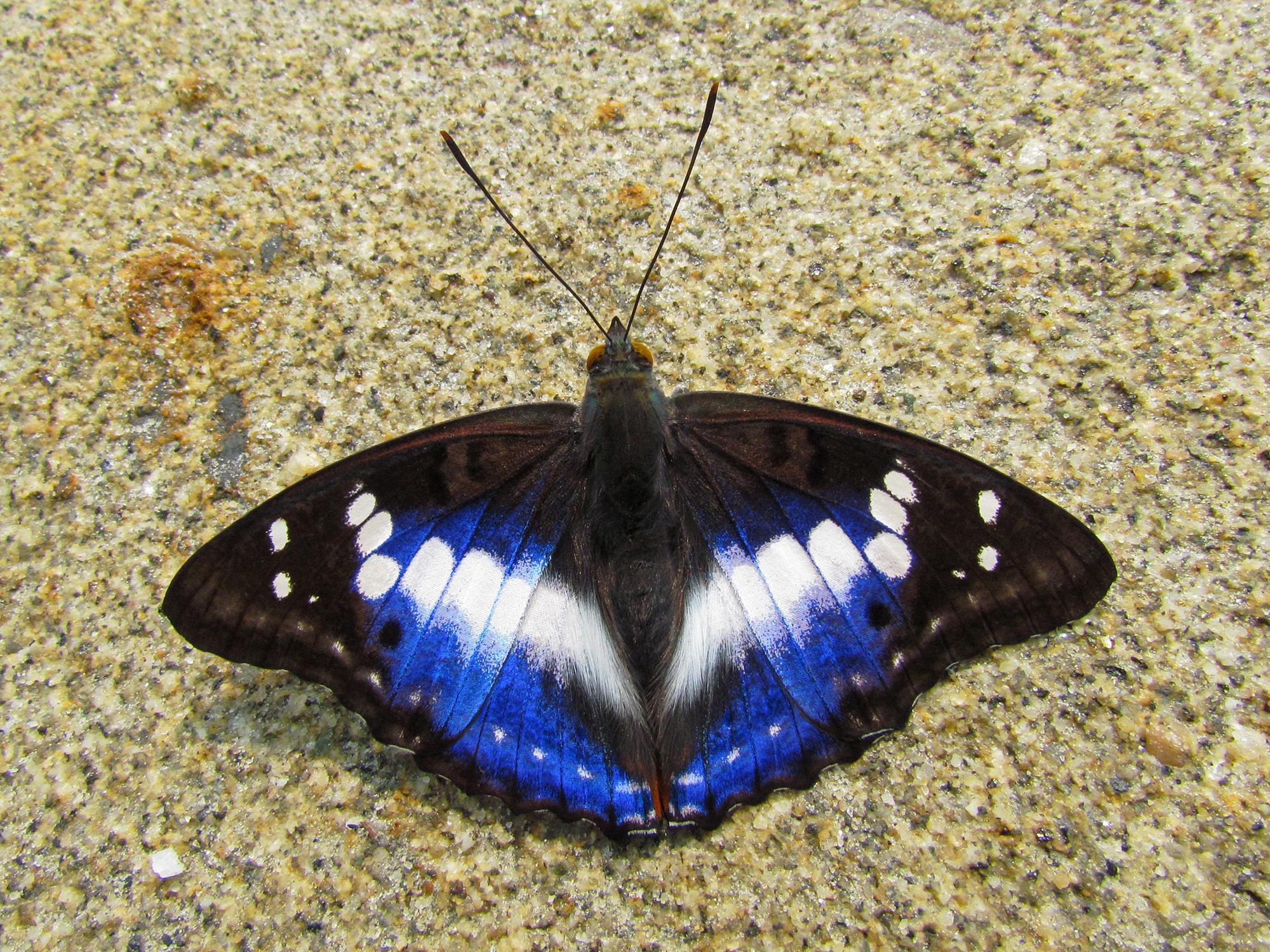 Butterfly Purple Emperor