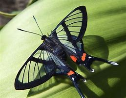 Sylphina Butterfly