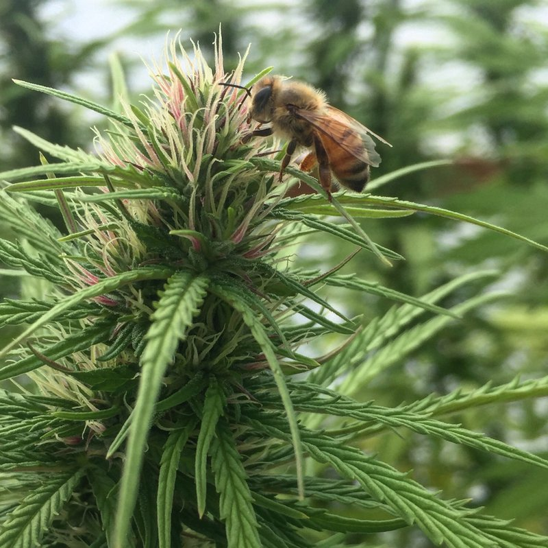 Female Hemp Plant
