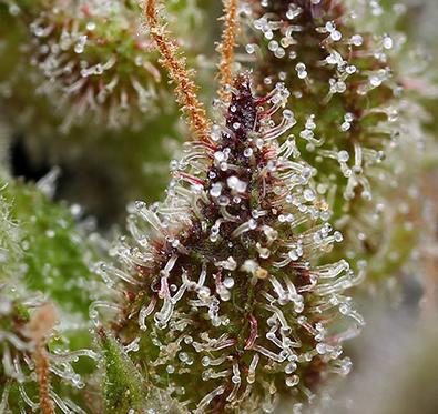 Eight Eight Hemp Flower Macro photo of trichomes