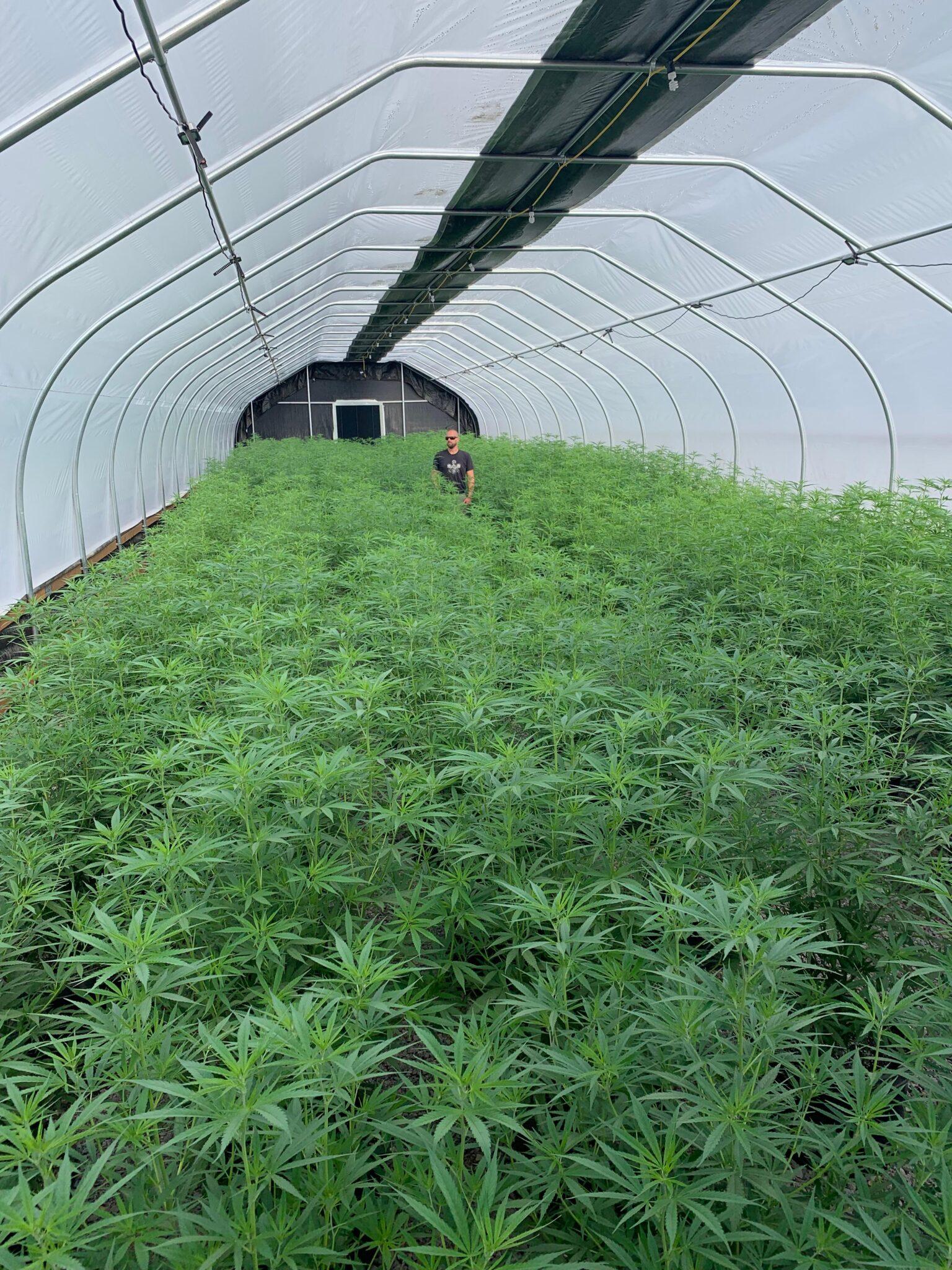 Greenhouse canopy full of healthy hemp plants