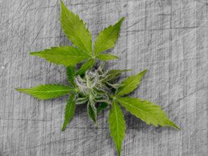Cannabis Effects On Pain And Sleep