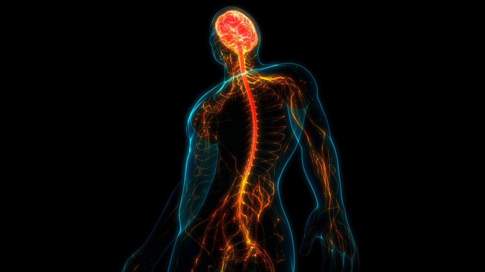 Image highlighting spinal cord and other parts of the nervous system
