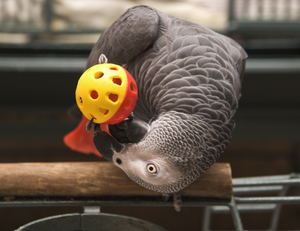 Birds Love to Chew on Toys.