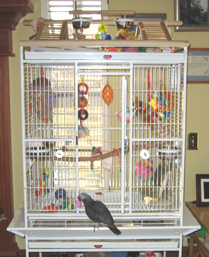 African Grey Parrot Cage and Environment Information