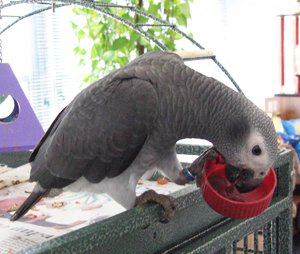 African Grey Parrot Diet and Nutrition is  important for them to live a long and healthy life.