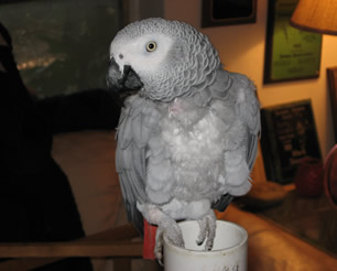 African Grey Parrot with feathers coming back in after feather plucking.