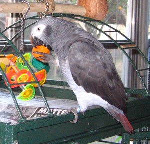 Timneh African Grey Parrot is darker grey with a maroon tail.