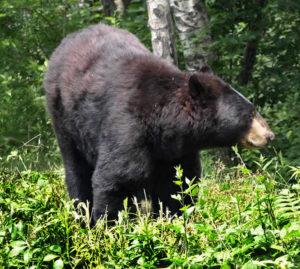 bear_guide_north