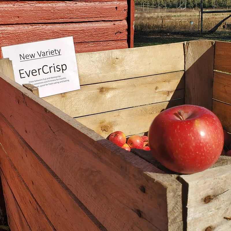 BrixStone Farms EverCrisp Apples