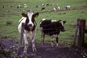 farm animal cows