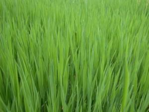 grass_grasses_green_274133_h
