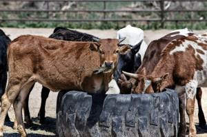 cow-419081_1280
