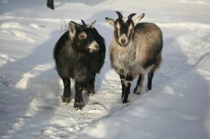 goat-483287_1280