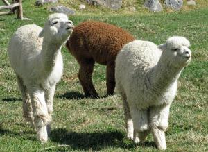 alpacas-336154_1280