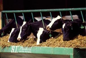cows-526771_1280