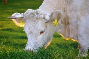 happy-cows-263766_1280