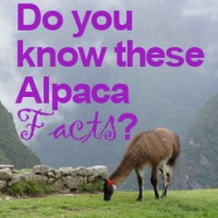 5 Alpaca Facts that You Didn't Know
