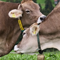 How Performance Reveals the Importance of Affection and Care in Livestock