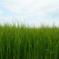 Why use Hydroponic Livestock Feed at your Farm