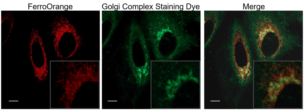 Co-staining with Golgi Complex Staining Dye