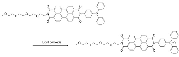 Reaction of Liperfluo with lipid peroxide
