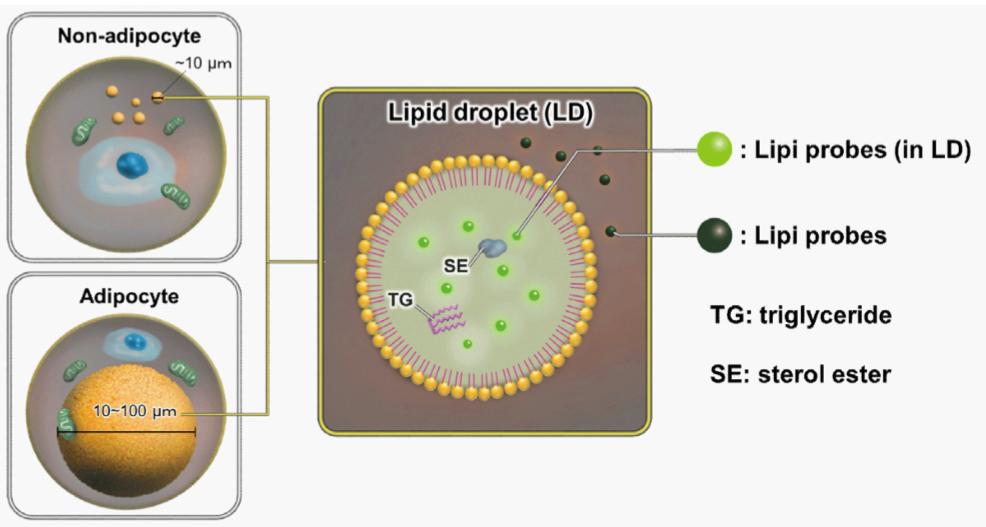 Lipi Probes and Lipid Droplets