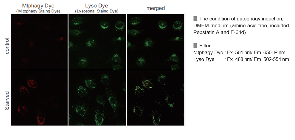 Mitophagy Detection in Starved Cells