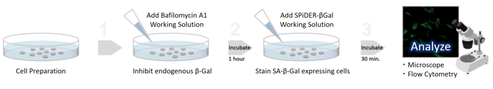 Procedure of Dojindo's Cellular Senescence Detection Kit