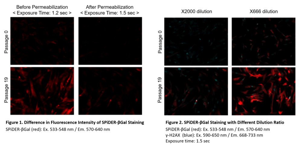 Co-staining of SA-β-gal and DNA Damage marker in fixed WI-38 cells