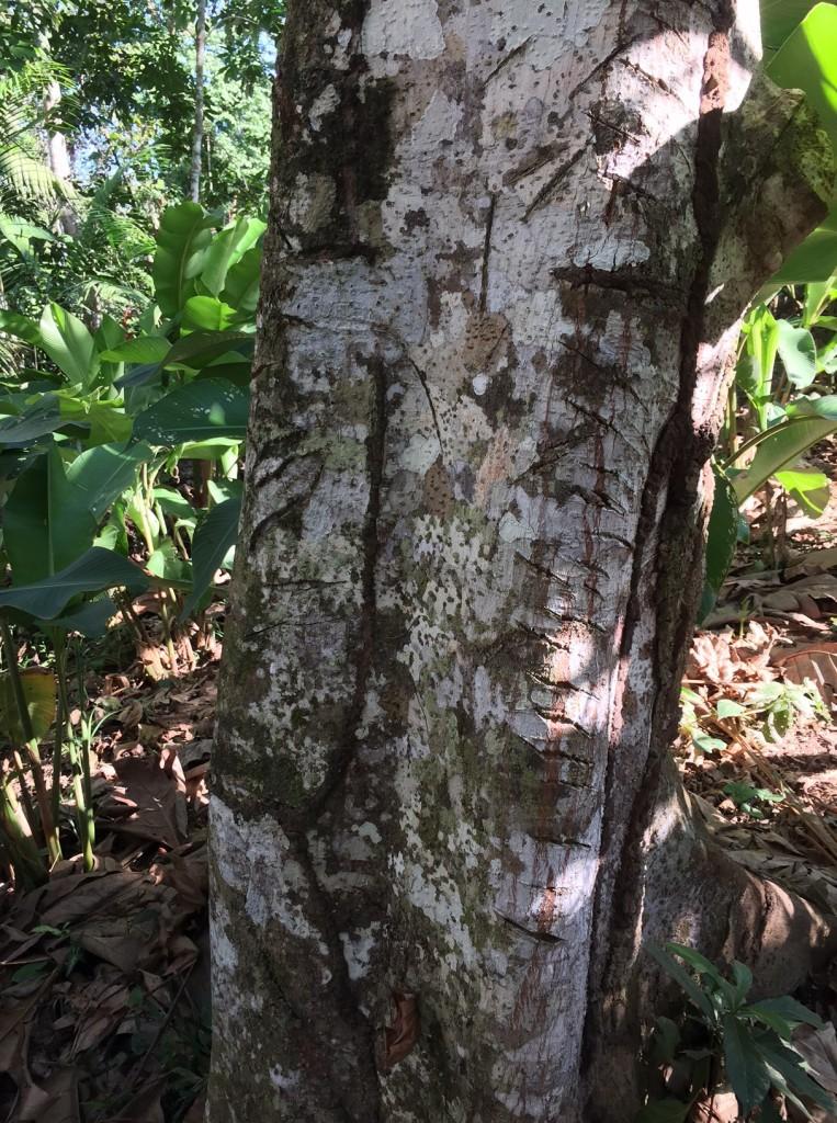 sagre de grado tree