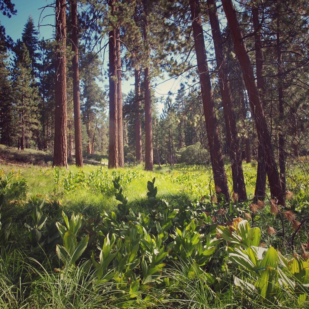 Lush greens and tall trees, Pine Knot trail, Big Bear Lake, California